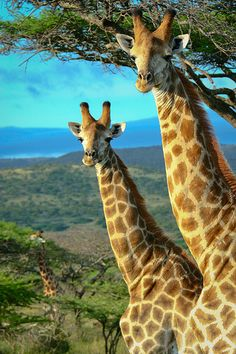 """""""Giraffes in Mkuzi."""" (Photo By: Exodus Travels - Reset Your Compass. Nature Animals, Animals And Pets, Baby Animals, Cute Animals, Baby Elephants, Wild Animals, Giraffe Pictures, Animal Pictures, African Animals"""