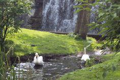 Whooper Swan, Pairi Daiza, Belgium, photo A. Kuckartz 22-05-2017 #swan #whooperswan
