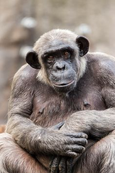 chimpanzee portrait - chimpanzee portrait