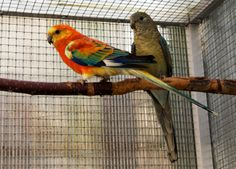 My Red-rumped parrots