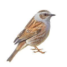 Heggenmus | Vogelbescherming.nl Flora And Fauna, Bird Watching, Bird Art, Gouache, Bird Houses, Puppy Love, Wildlife, Birds, Puppies