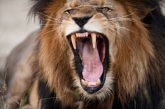 Angry Roaring Lion HD dekstop wallpapers - Angry Roaring Lion