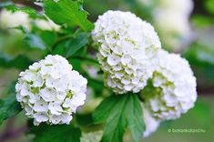 Picture of Flower - Old Fashioned Snowball Bush in Bloom - Viburnum opulus - Roseum in Wisconsin stock photo, images and stock photography. Viburnum Opulus Roseum, Banner Printing, Image Photography, Hydrangea, Garden Design, Bloom, Snowball, Country Living, Wisconsin