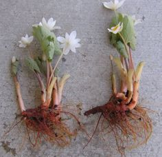 bloodroot | spring flowers | native plants | shade plants ...