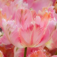 Lovely parrot tulips.