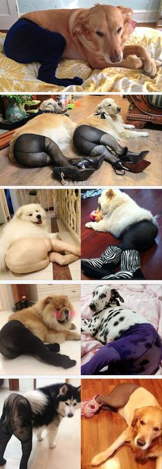 The Latest Trend: Dogs in Pantyhose. This is so wrong! But so incredibly funny!
