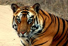 Photo of Elegant Tiger ♡ for fans of Tigers. ♡♡♡