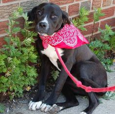 PLEASE SAVE HER! Brooklyn Center  LOLA - A0966187  FEMALE, BLACK / WHITE, LABRADOR RETR, 9 mos this poor little girl was found as a stray and ended up in a hi-kill shelter. Please share her so that she can find her furever home https://www.facebook.com/photo.php?fbid=616610281685188=a.617941078218775.1073741869.152876678058553=1