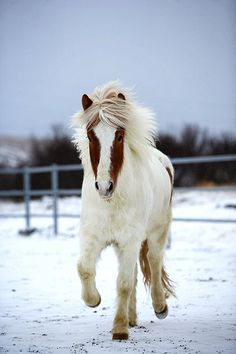 Icelandic Horse--this is dedicated to my little horse-loving girl!