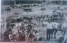 Early settlers Gundagai Tumut region circa 1890, relied on Bullock teams for heavy loads.