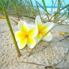 White&Yellow Plumerias: Makes me miss beautiful Hawaii
