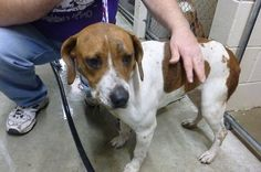 This pretty beagle girl is under 3 years old by her teeth, weighs a trim 35 lbs, and is very easy to handle. She was brought into the shelter as a stray, so she's still hoping her folks come redeem her. If you know of someone who's beagle may have. Animal Shelter, Animal Rescue, Saint Joseph, Dog List, Beagle Mix, Stop Animal Cruelty, Dog Boarding, Animal Rights, My Heart Is Breaking