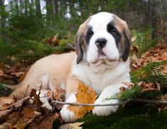 I had a saint Bernard once she was sweet but very stubborn. You remember Missy don't u mom?:-)