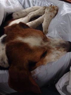 URGENT NEED TO LOCATE OWNERS  #FOUNDDOG 5-13-14 #SHARON #VT MALE DOG HIT BY CAR COUNTY ANIMAL HOSPITAL 1533 VERMONT 107 #BETHEL #VT. 05032 802-234-5999 https://m.facebook.com/story.php?story_fbid=551643324952923&substory_index=0&id=198608766923049