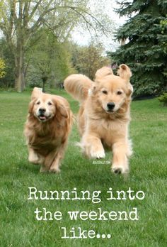 Running Into The Weekend Like Goldenretriever Quote Golden