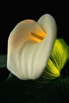 White Calla Lily Strange Flowers, Rare Flowers, Black Flowers, Exotic Flowers, Summer Flowers, Amazing Flowers, Beautiful Flowers, Calla Lillies, Calla Lily