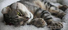 Fotografía de un American Curl acostado en su cama. Carácter dócil y tranquilo del gato Curl Americano. Raza de gato pequeño (Photograph of an American Curl lying on his bed. Small cat breed).