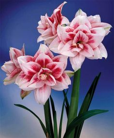 Amaryllis Elvas - Royal Dutch Double Amaryllis - Amaryllis - Flower Bulb Index