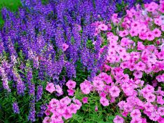 Serena blue angelonias and hot pink petunias are a striking combination.