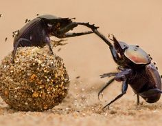 Dung beetles fighting over dung BelAfrique - Your Personal Travel Planner www.belafrique.co.za