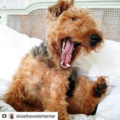 Welshie puppy! | @dixiethewelshterrier