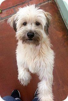 Antioch, CA - Tibetan Terrier Mix. Meet Rosie, a dog for adoption. http://www.adoptapet.com/pet/15966404-antioch-california-tibetan-terrier-mix