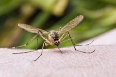 Natural Insect Repellents - Natural and organic insect repellents that are safe for children