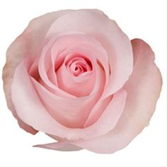 Pink Akito- Petite bloom size, almost sweetheart size in a soft pink. From our California growers,