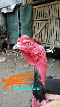 Ayam saigon rooster probolinggo indonesia
