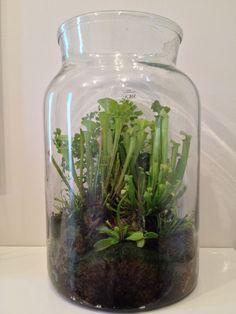 My carnivorous terrarium: Adiantum tenerum (back) ; Sarracenia flava (left); Sarracenia x farnhamii (right); 2x Drosera capensis (centre left/right), Dionaea muscipula (front).  Leucobryum glaucum (botom). Glass vase ø 22 cm X 35 cm tall.