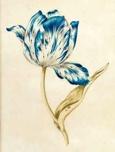 blue & white tulip