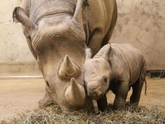 Resultado de imagen para fotos de rinocerontes bebés