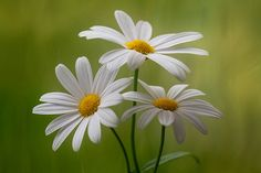 Marguerites by Mandy Disher, via Flickr