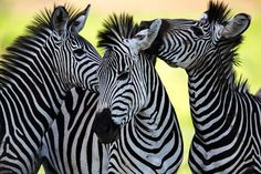 Find Wild Zebra Socialising Africa stock images and royalty free photos in HD. Explore millions of stock photos, images, illustrations, and vectors in the Shutterstock creative collection. Zebras, Giraffes, Safari, Africa Art, Glass Printing, Thing 1, Stretched Canvas Prints, Beautiful Creatures, Stickers