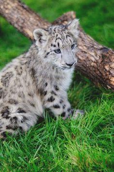 Snow leopard cub (from Big Cat Rescue)
