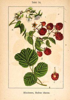 150044 Rubus idaeus L. / Sturm, J., Krause, E.H.L., Lutz, K.G., Flora von Deutschland in Abbildungen nach der Natur, Zweite auflage, vol. 8: t. 14 (1904)