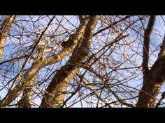 Bobcats in Marymore Park, Redmond WA