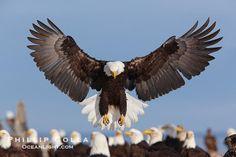 bald eagle photography | Bald Eagle Photo, Stock Photograph of a Bald Eagle, Haliaeetus ...