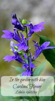 In my garden with the blue Cardinal flower (Lobelia siphilitica) Wildflower Drawing, Garden Frogs, Herbal Plants, Clay Soil, Morning Sun, Oak Tree, Garden Projects, Hummingbird, Beautiful Gardens