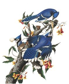 Plate 102: Blue Jay by John James Audubon