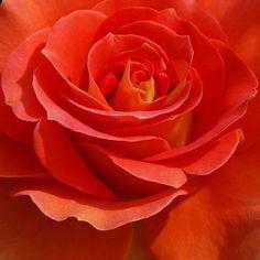 Single Flowers, Love Flowers, Wedding Flowers, Beautiful Roses, Flower Power, Happy Birthday, Shades, Orange, Plants