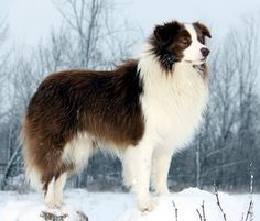 Free Border Collies | Border Collie winter photo and wallpaper. Beautiful Cute Border Collie ...