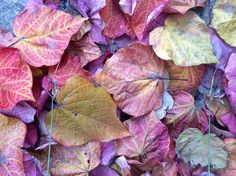 Fallen Cercis Leaves. 2014. Glyn Overton. Contemporary Garden, Mood, Drawing, New Beginnings, Graphic, Autumn Leaves, Mists, Illustration, Plant Leaves