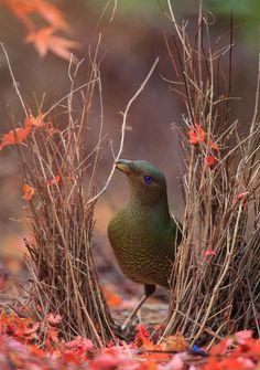 BOWER BIRD by Donovan wilson on 500px