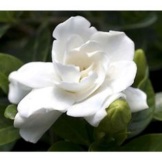 Gardenia 'Crown Jewel' p.p. (Gardenia jasminoides hybrid) a double bloom flower that can be grown in zone 6 or higher