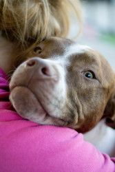 Bashful is an adoptable Pit Bull Terrier Dog in Baltimore, MD. Howdy, I am Bashful, the shy one. I am a beautiful Chocolate Brindle and White, gorgeous boy. Did I mention I have the cutest freckles on...