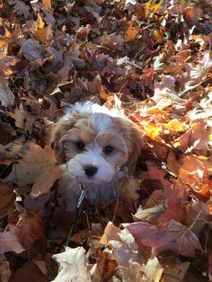 Our little Piper. Cavachon Shipoo Puppies, Cavachon Puppies, Cavapoo, Maltipoo, Havanese, Really Cute Puppies, Cute Dogs, Cute Baby Animals, Animals And Pets