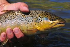 Finding the best fly line for trout is not easy as each has its own unique properties, hopefully, we can help. #ChuckingFluff #BestTroutFlyLine