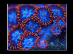 All Corals at AquariumDepot.com are 50% Off through this weekend (10.30.2016)  #coral #softcorals #hardcorals