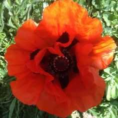 #poppy #beachhousepark #gardens #Worthing #useitorloseit by Polly Bastow http://instagram.com/p/obU-kuMq_g/